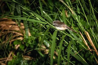BIRDS - pied fantail-30
