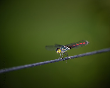 INSECTS - dragonflies-0315