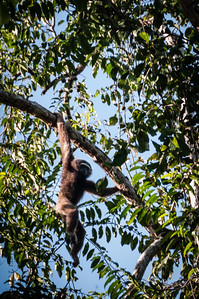 Got really luck to see the gibbon swinging through trees....he then went up higher but sees to be keeping an eye on us....