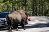 A huge bison causes a traffic jam in when crossing the road in Yellowstone National Park, Wyoming, USA