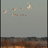 Tundra swans at Lake Mattamuskeet
