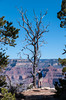 Visitor standing by large Snag Tree at the edge of the Grand Canyon.