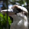 Up close to a Kookaburra, the famous laughing bird that sits in old gum trees. They do laugh a lot.