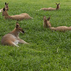 It certainly appears to be a tough life for kangaroos at the Koala Sanctuary!