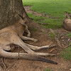 A large Red Kangaroo lounges by a tree trunk in the open range area of the Koala Sanctuary. They can weigh up to 90KG.