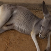 A Grey Kangaroo lounging in the shade. THey are very soft, so I understand why they were hunted for their fur in earlier times. Look carefully in the pouch to notice the tail of a snoozing joey.