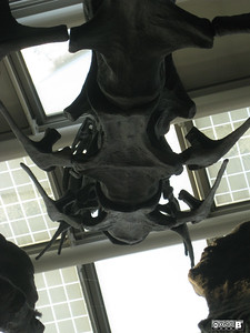 The Belly of the Beast. Looking up at Lucy the Dinosaur in O'Hare