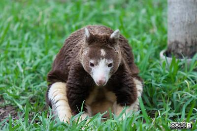 Matschie's Tree Kangaroo