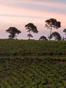 Mt Lawu, Tea Plantation