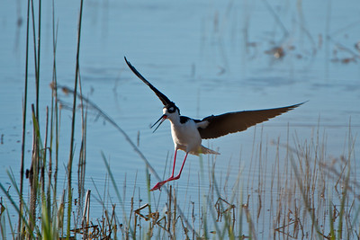 Black-necked Stilt coming in for a landing.