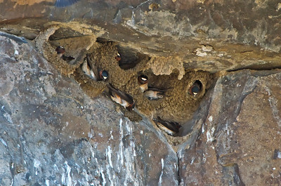 Cliff Swallow Colony