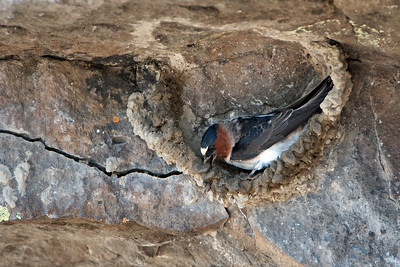 Cliff Swallow placing a wad of mud onto the nest.