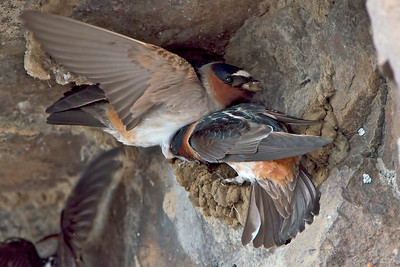 A Cliff Swallow pair working on their mud nest.
