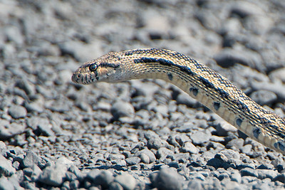Gopher Snake or Bullsnake