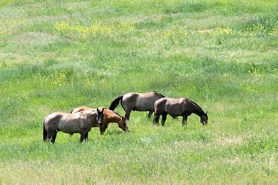 Horses grazing near Omak, WA