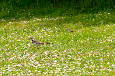 Killdeer at Conconully Lake in Okanogan County, Washington