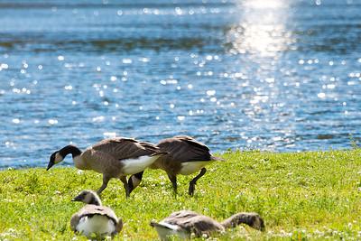 Canada Geese at Conconully Lake in Okanogan County, Washington