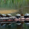 Turtles sunning on a log in Forde Lake north of Conconully, Wa