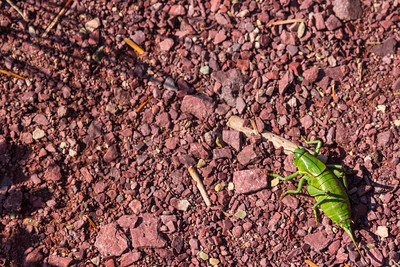 A large 12cm tip to tip big green bug, not very well camouflaged when away from leafy bushes.