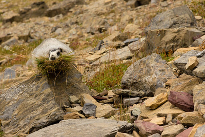 A marmot pausing to pose in he gathers nesting material.