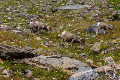 Mature Bighorn Sheep browsing the flowers near Haystack Butte on the Highline Trail.