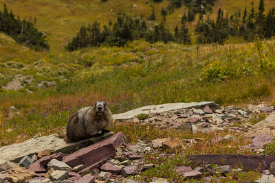ANother marmot, this one definitely chunky enough to have a good chance at surviving the winter.