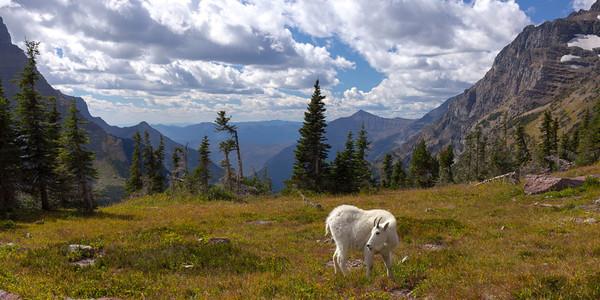 A browsing huvenile Mountain Goat at Hidden Lake Divide.