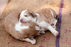 Stray puppies sleeping on the sidewalk on a street leading to the East gate of the Taj Mahal