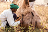 Pushkar Camel Fair<br /> <br /> Patterns are clipped into the camel's furs.