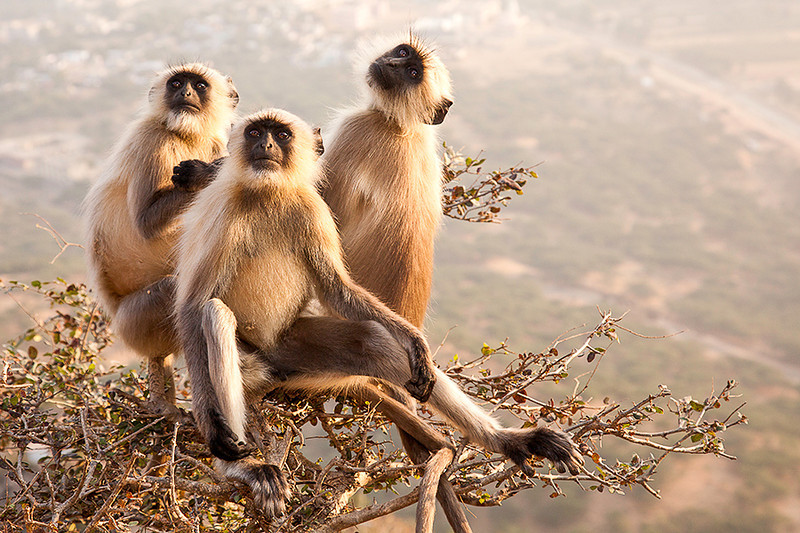 Pushkar monkeys