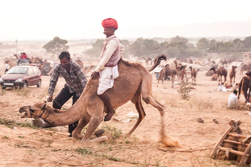 Pushkar Camel Fair<br /> <br /> The guys were trying to tame an uncooperative camel.