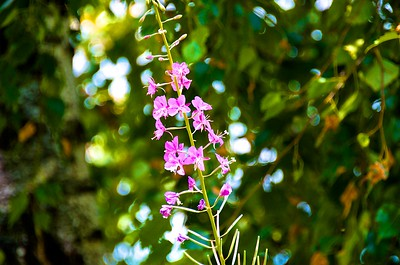 Common weed in the Northwest - Fireweed.