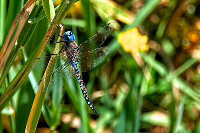 The Blue-eyed Darner (Rhionaeschna multicolor) is a common dragon of the western United States, occurring east to the Midwest from central Canada and the Dakotas south to west Texas and Oklahoma.