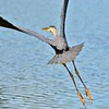 Great Blue Heron takes off in flight.