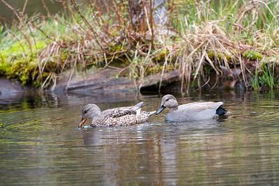 Pair of Gadwall ducks