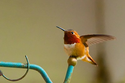 Ruffus Hummingbird - male