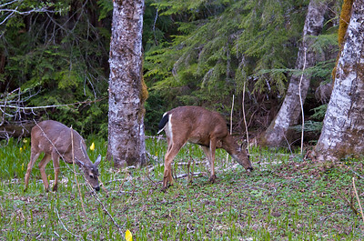 Black Tail Deer in the meadow at Longmire.