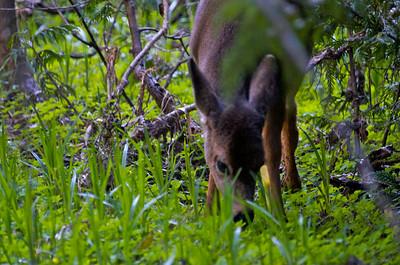 Black Tail Deer in the meadow at Longmire.
