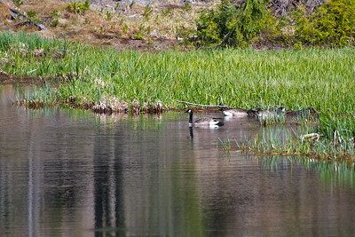 Geese in the pond at Longmire.
