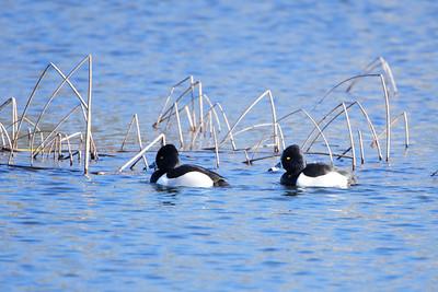 Ringed Neck Ducks - male