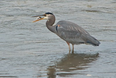 Great Blue Heron Catches a Fish
