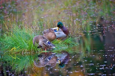 Mallard hens and drake - Nisqually National Wildlife Refuge