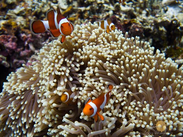 Our favorite Nemo (Sea Anemone Fish) underwater family