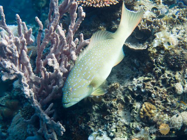 Lapu-lapu by the coral