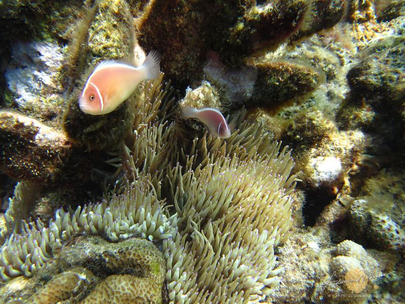 Some samurai anemone fish