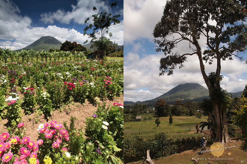 Mt Lokon in Tomohon with flower fields and rice fields