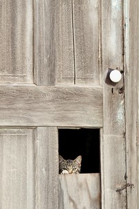Farm cat peeks out of hole in the door.