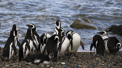 Otway Bay, Punta Arenas: Young Chick with Adults at Sea