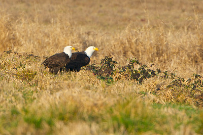 Bald Eagles feeding on a duck kill
