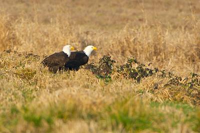 Bald Eagles feeding on a duck kill